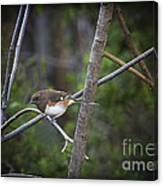 Finding A Mate Canvas Print