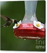 Fiona The Little Female Hummingbird Canvas Print