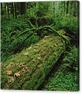 Fir Nurse Log In Rainforest Pacific Canvas Print