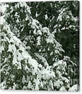 Fir Tree Branch Covered With Snow  Canvas Print