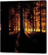 Fir Trees Back Lit  Canvas Print
