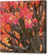 Fire Maple Canvas Print