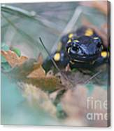Fire Salamander Front View Canvas Print