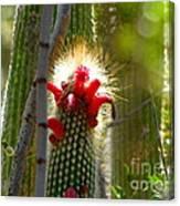 Firecracker Cacti Canvas Print