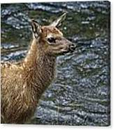 Firehole River Elk Fawn Canvas Print