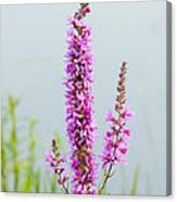 Fireweed In Mist Canvas Print