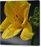 First Bloom - Lily Canvas Print