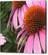 First Cone Flower Canvas Print