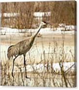 First Crane Canvas Print