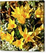 First Crocus Serenade Canvas Print