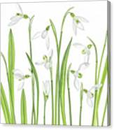 First Snowdrops Canvas Print