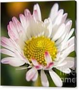 First Spring Daisy Canvas Print