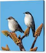 Fiscal Flycatcher Pair Canvas Print