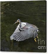 Fishing Tri Colored Heron Canvas Print