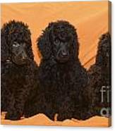 Five Poodle Puppies  Canvas Print