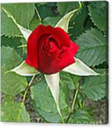 Five Star Red Rose Canvas Print