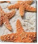 Five Starfish Canvas Print