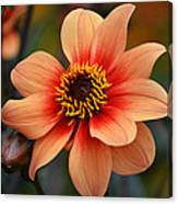 Flamboyant Dahlia. Canvas Print