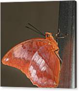 Flame-bordered Charaxes Butterfly #3 Canvas Print