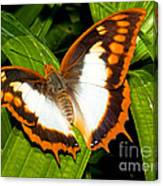 Flame Bordered Charaxes Butterfly Canvas Print