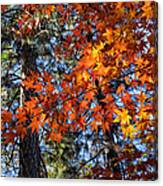 Flaming Maple Beneath The Pines Canvas Print
