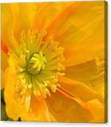 Flaming Yellow Poppy  Canvas Print
