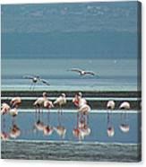 Flamingo On Lake Nakuru Canvas Print