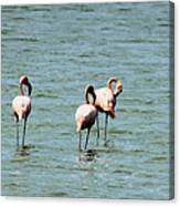 Flamingos Gathering Together Canvas Print