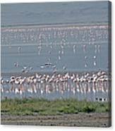 Flamingos On Lake Magadi Canvas Print