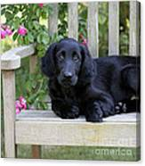 Flat-coated Retriever Puppy Canvas Print