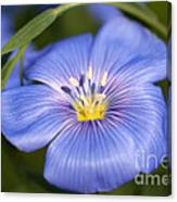 Flax Flower Canvas Print