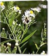 Fleabane Bee Canvas Print