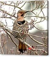 Flicker - Alabama State Bird - Attention Canvas Print
