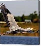 Flight Of The Great Blue Heron Canvas Print