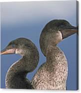 Flightless Cormorant Pair Galapagos Canvas Print