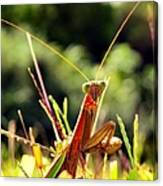 Flirty Mantis Canvas Print
