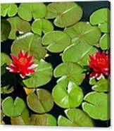 Floating Red Water Lilly Flowers On Pond Canvas Print