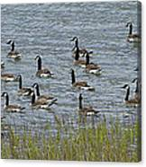 Flock Of Canada Geese   #7116 Canvas Print
