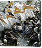 Flock Of Pelicans In Water, Galveston Canvas Print