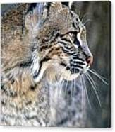 Florida Bobcat Canvas Print