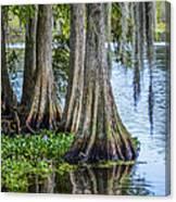 Florida Cypress Trees Canvas Print