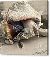 Florida Fighting Conch Canvas Print