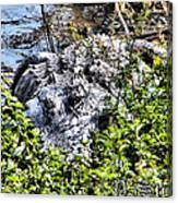 Florida Gator Canvas Print