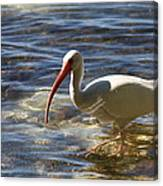 Florida Ibis Canvas Print