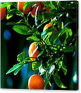 Florida Oranges Canvas Print