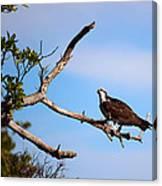 Florida Osprey Having Breakfast Canvas Print