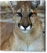 Florida Panther, Endangered Canvas Print