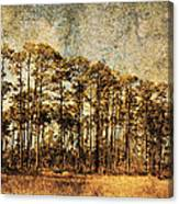 Florida Pine 4 Canvas Print