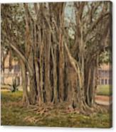 Florida Rubber Tree, C1900 Canvas Print