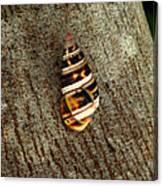 Florida Tree Snail. Everglades N.p. Canvas Print